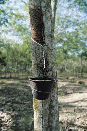 Collecting latex sap from a rubber tree.