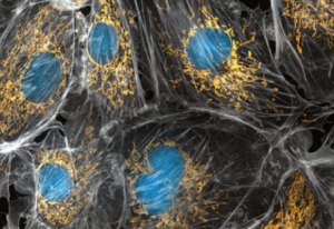 mitochondria produce ATP energy to keep cells healthy