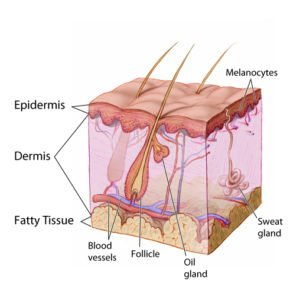 Skin diagram showing the hair follicle and oil gland that produces sebum oil.